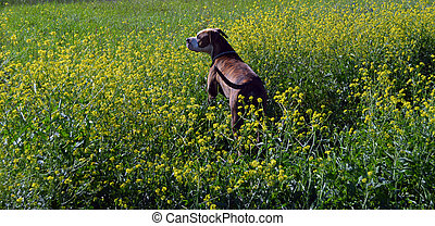 Looking Out Pit - A large brindle Stafford Terrier looking...