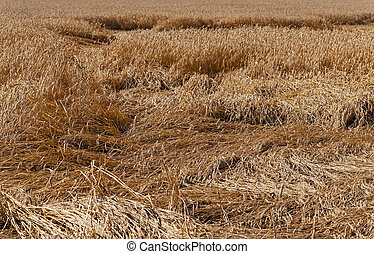destroyed wheat - wheat destroyed by bad weather. some ears...