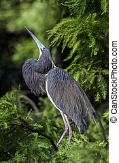 Tricolored Heron Juvenile - A Tricolored Heron Juvenile near...