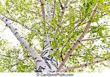 Abedul, árboles,