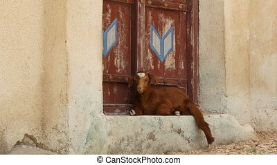 arabic goat relaxing in the shadow - arabic domestic goat...
