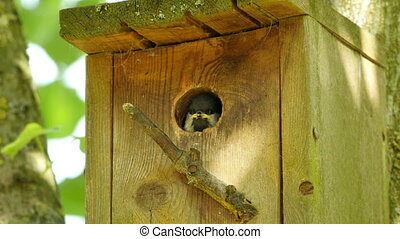 great tit looking out from nesting