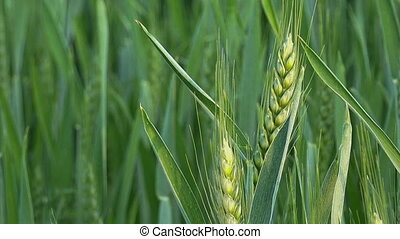 Young Green Wheat Crops Growing in Cultivated Agricultural...