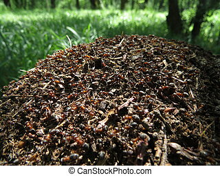 ants - Ants in an anthill working in an oak forest