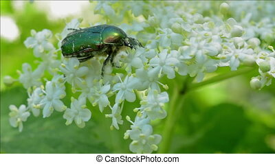 Green Rose Chafer (Cetonia Aurata) - Green Rose...