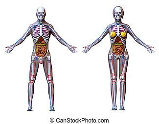 Anatomy Male Female - isolated on white