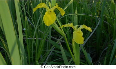 Yellow iris flower close-up - Yellow iris flower in the...