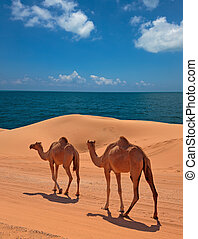 Camels in the desert, red sands of Dubai