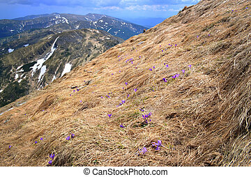 Hillside - Beautiful hillside with lilac flowers in...