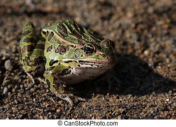Patient Leopard Frog