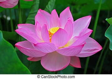 Lotus flower in summer - Lotus flower in full bloom during...