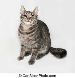 Gray striped and white cat sitting on gray background