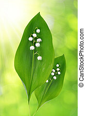 Twigs of Lilly of the valley