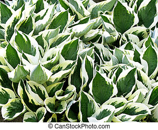 Hosta - Variegated green and white leaves of the Hosta plant...