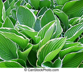 Thick lush leaves of the Hosta - Thick lush green leaves of...