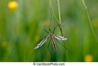 mosquito nematocera
