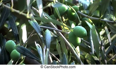 green olives on the tree - olive grove, green olives on the...