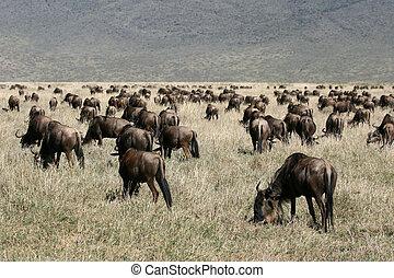 Wildebeest - Ngorongoro Crater, Tanzania, Africa -...