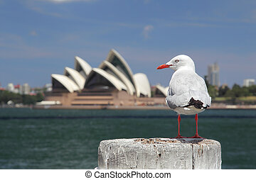 Silver Gull in Sydney - Silver Gull Chroicocephalus...