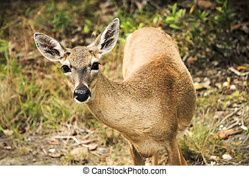 Key Deer - A curious Key Deer doe in the Florida Keys These...