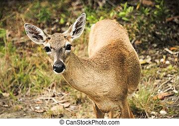 Key Deer - A curious Key Deer doe in the Florida Keys. These...