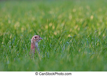 Female pheasant - Photo of female pheasant hiding in a grass