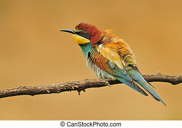 European bee eater - Photo of european bee eater standing on...