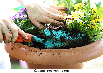 Planting flower - Female plants in pot plants forming a...