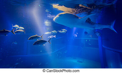 The whale shark  in an aquarium