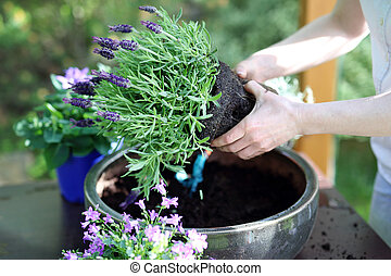 Lavender flower arrangement - Female plants in pot plants...