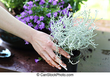 Kalocefalus plant with silver color - Female plants in pot...