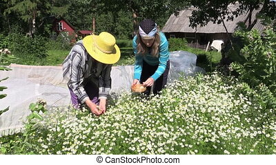 "woman pick camomile - ""grandmother with granddaughter..."