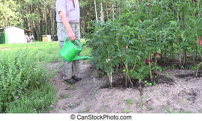 man watering tomato bed - retired person watering tomato...