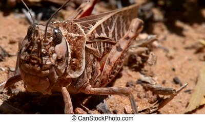 Locust cicada grasshopper close-up macro - Steady macro shot...