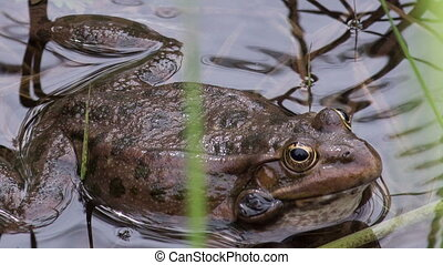 Frog - frog in the water among aquatic vegetation