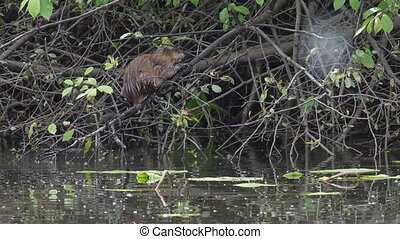 Muskrat - muskrat feeds on the leaves of trees