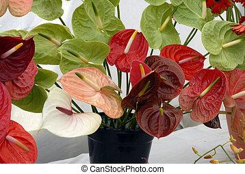 rojo, Anturium, flores