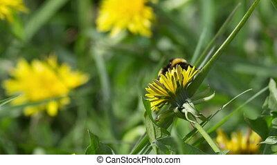 Bumblebee - bumblebee on dandelion
