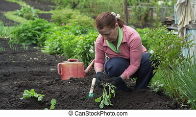 Gardener - Woman gardener are planted seedlings of cabbage