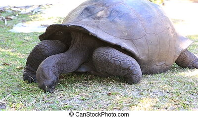 Aldabra giant tortoise eats grass. Island Curieuse in...