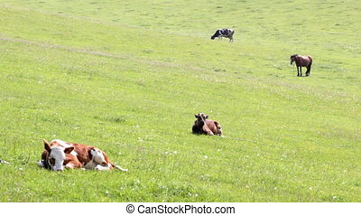 Cattle on pasture - Farm animals on pasture Green pockets on...