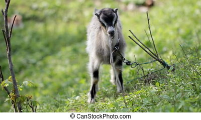 Cute domestic goat grazing on the l - Cute greyish goat...