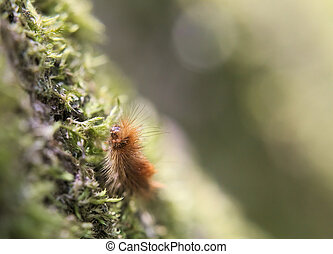 Ruby Tiger Caterpillar - Hairy caterpillar of the ruby tiger...