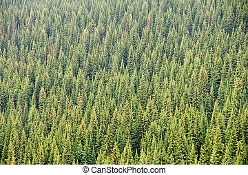 Coniferous Forest - An abstract composition of a forest of...