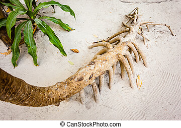 screwpine roots - The roots of the screwpine, Pandanus...
