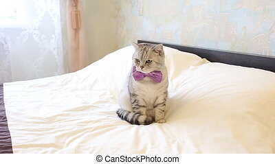 english cat wearing a bow tie - english cat with big orange...