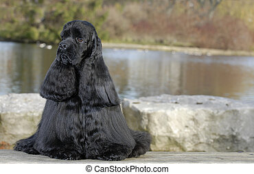 american cocker spaniel sitting by river - champion...