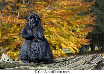black american cocker spaniel portrait in autumn setting -...