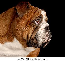 brindle english bulldog portrait on black background