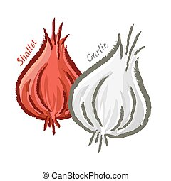 Shallots and Garlic - Vector illustration of shallot and...